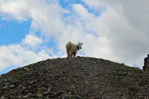 Majestic, albeit nosy, mountain goat up on Mt. Clements Moraine where we had several transects.